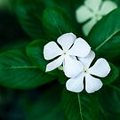White Periwinkle by Charuhas  Images