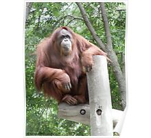 Proud and Confident - Mother Orangutan  Poster