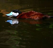 North American Ruddy Duck by Lisa G. Putman