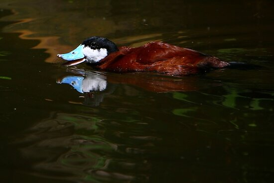 North American Ruddy Duck by Lisa G. Putman