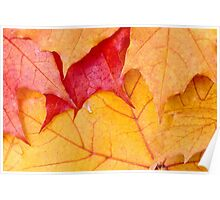 Red maple leaves background Poster