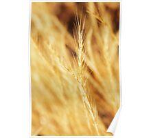 Golden blades of grass Poster