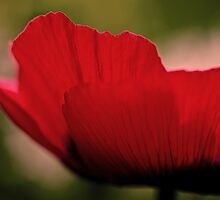 Red Poppy (Side) by Marcus Walters