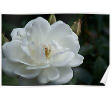 White beauty..my garden, Victoria, Australia Poster