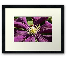 Macro blue and ruby red Clematis - flowers and leaves Framed Print