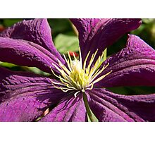 Macro blue and ruby red Clematis - flowers and leaves Photographic Print