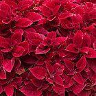 Red Leaves by nikonplasma