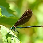 Female Beautiful Demoiselle by Robert Abraham