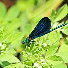 Turkish Beautiful Demoiselle by Robert Abraham
