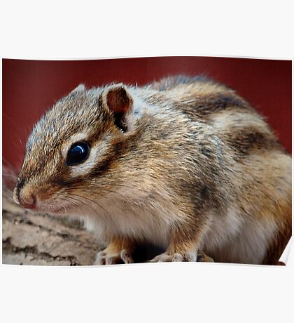 Siberian Flying Squirrel Poster