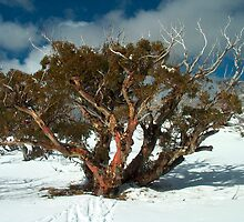Snowgum at Derrick's Hut by Charles Kosina