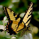 Among The Roses - Swallowtail by Lois  Bryan