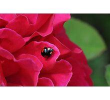 Black Ladybug/Ladybird Photographic Print