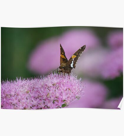 Butterfly on Autumn Sedum Poster