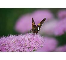 Butterfly on Autumn Sedum Photographic Print