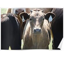 Inquisitive Cow Poster
