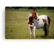 Paint Horse in Repose Canvas Print