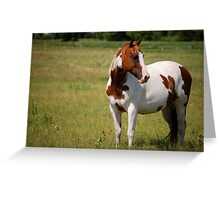 Paint Horse in Repose Greeting Card