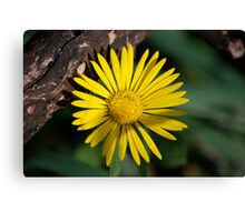 Yellow Compass Wildflower Canvas Print