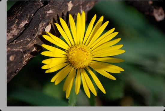 Yellow Compass Wildflower by Suz Garten