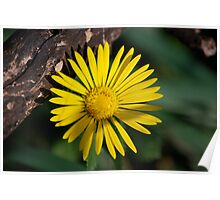 Yellow Compass Wildflower Poster