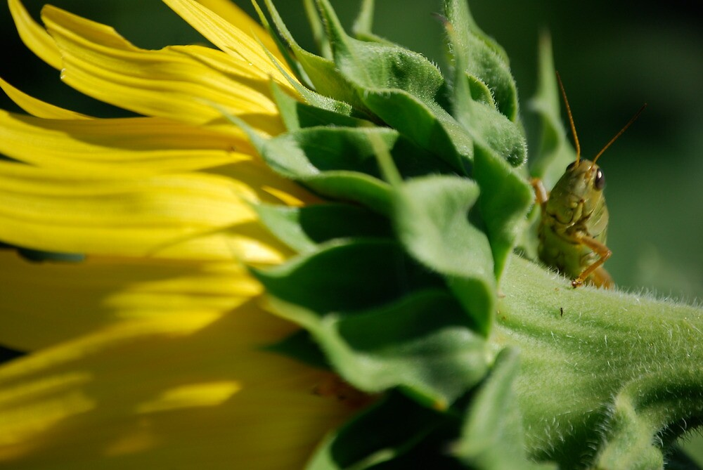 Grasshopper on Sunflower by Suz Garten