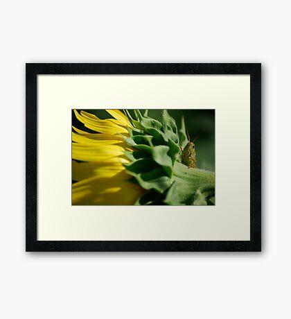 Grasshopper on Sunflower Framed Print
