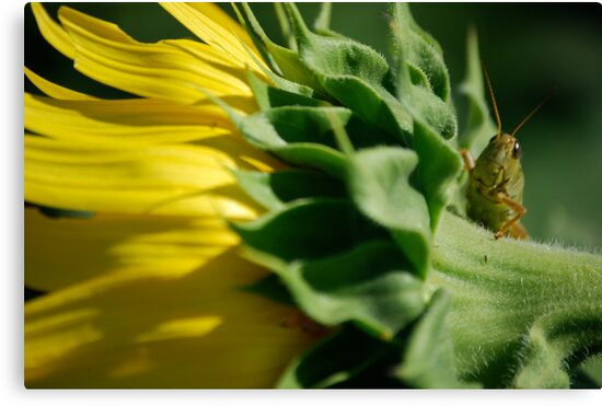 Grasshopper on Sunflower by Suz Garten