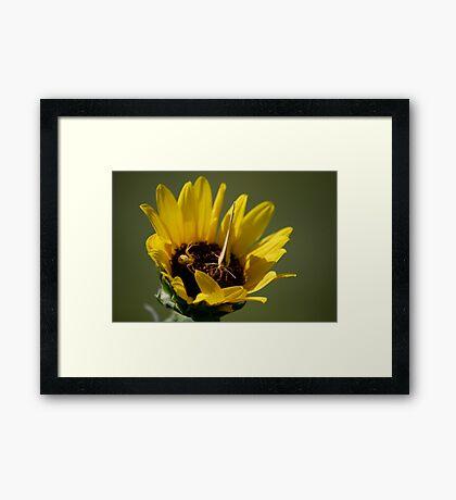 Butterfly vs Spider on Sunflower Framed Print
