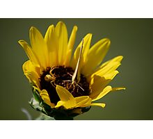 Butterfly vs Spider on Sunflower Photographic Print