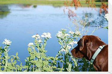 Chocolate Lab Smells the Flowers by Suz Garten