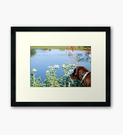 Chocolate Lab Smells the Flowers Framed Print