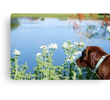 Chocolate Lab Smells the Flowers Canvas Print