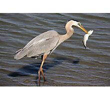 Great Blue Heron with his Prize Fish Photographic Print