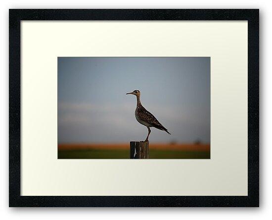 Upland Sandpiper in Kansas by Suz Garten