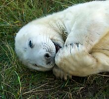 Atlantic Seal Pup - (Halichoerus grypus) by Robert Taylor