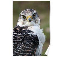 Saker Falcon - (Falco cherrug) Poster