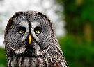 Great Grey Owl, Strix nebulosa by David Carton