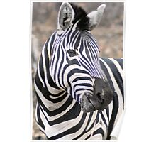 Adult  Plains Zebra Poster