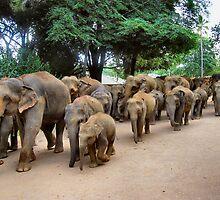 ELEPHANTS GOING FOR A BATH. SRI LANKA. by ronsaunders47