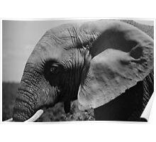 Bull Elephant B/W Poster