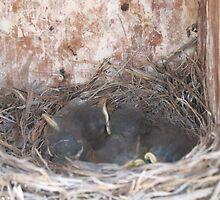 Bluebird nestlings by WildlifeChick85
