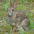 Eastern Cottontail II - Hot Springs National Park by Lee Hiller