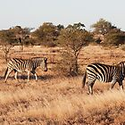 Zebra Kruger National Park by hallphoto