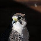Lanner Falcon &#x27;Bud&#x27; by Simone Kelly