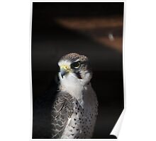 Lanner Falcon 'Bud' Poster