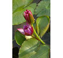 lotus flower Photographic Print