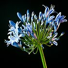Agapanthus in Blue by Marcus Walters
