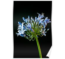 Agapanthus in Blue Poster