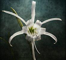 Peruvian Daffodil by Lydia Marano